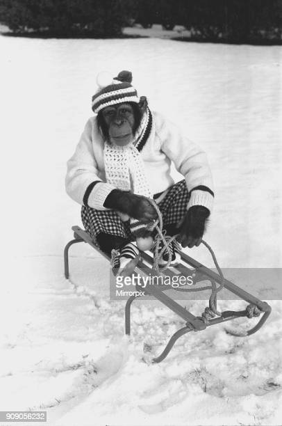 A Chimpanzee at Twycross Zoo wrapped up from the cold while posed on a sled 3rd January 1977