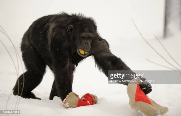 A Chimpanzee at Whipsnade Zoo during a Valentine's Day photocall where the chimpanzees were given treats hidden in large heart bags