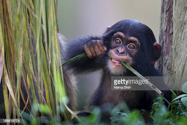 chimpanzee baby - young animal stock pictures, royalty-free photos & images