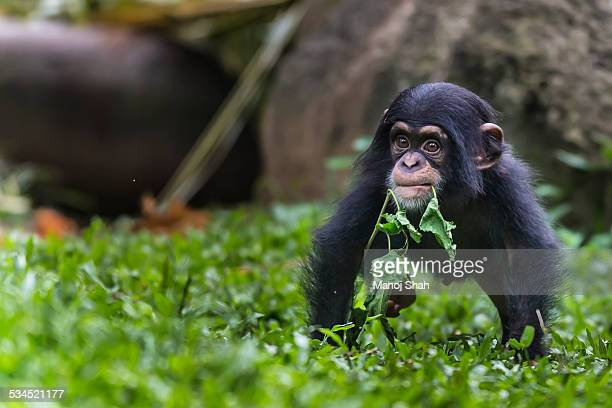 Chimpanzee baby playing with a small plant