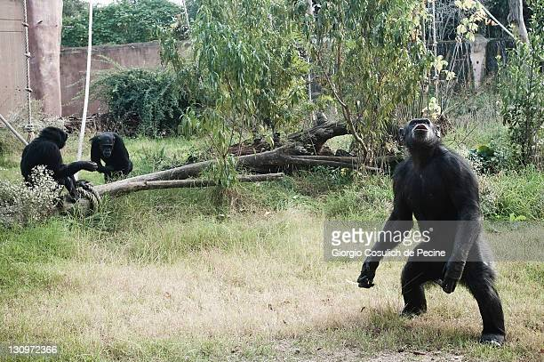 A chimpanzee begs for food during lunch time at the Rome Bioparco on October 30 2011 in Rome Italy As it is Halloween time Zoo staff are feeding the...