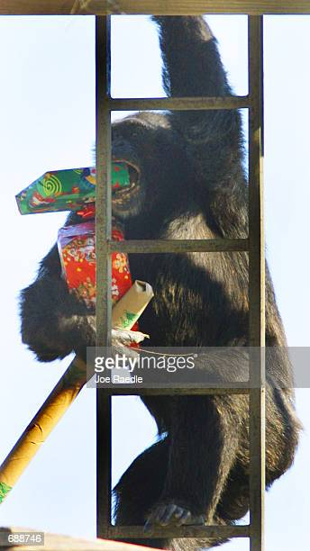 A chimpanzee carries away Christmas presents that were delivered by Santa Claus December 21 2001 at the Lion Country Safari in West Palm Beach...