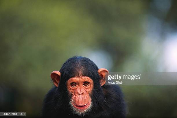 Chimpanzee (Pan troglodytes), close up