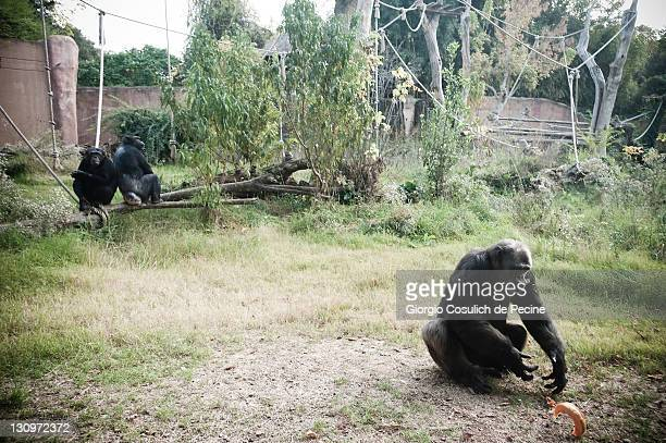 A chimpanzee collects a slice of pumpkin from the ground at the Rome Bioparco during lunch time on October 30 2011 in Rome Italy As it is Halloween...