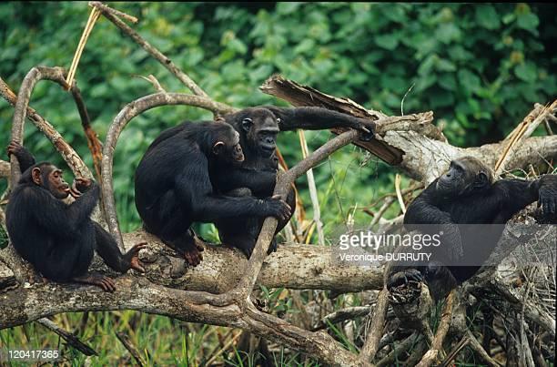 Chimpanzee ConkouatiDouli National Park In Congo