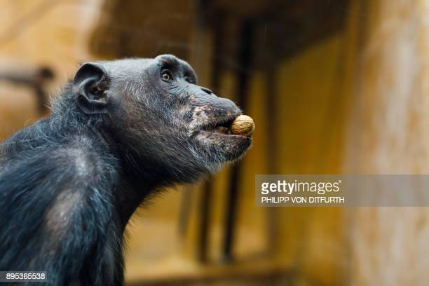A chimpanzee eats a nut in its enclosure at the zoo in Hanover northern Germany on December 19 2017 / AFP PHOTO / dpa / Philipp von Ditfurth /...
