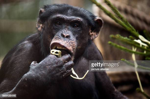 Achimpanzee eats pasta from a Christmas tree at the zoo in Gelsenkirchen Germany 20 December 2017 Around 70 selected animals received Christmas...