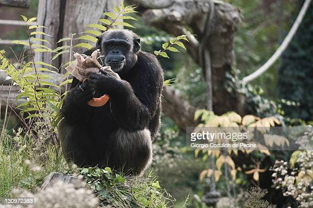A chimpanzee eats pumpkin at the Rome Bioparco during lunch time on October 30 2011 in Rome Italy As it is Halloween time Zoo staff are feeding the...