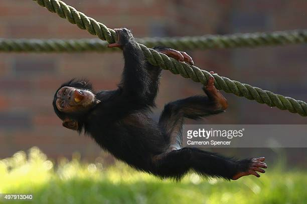 Chimpanzee enjoys an icy treat at Taronga Zoo on November 20, 2015 in Sydney, Australia. With high temperatures expected across Sydney and NSw today,...