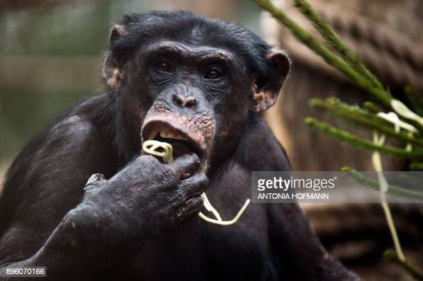 A chimpanzee enjoys some spaghetthi it has picked from a Christmas tree in its enclosure at the zoo in Gelsenkirchen western Germany on December 20...