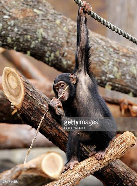 A chimpanzee explores its newly refurbished enclosure at Sydney's Taronga Zoo 22 September 2007 The enclosure now has a new fallen forest of ironbark...
