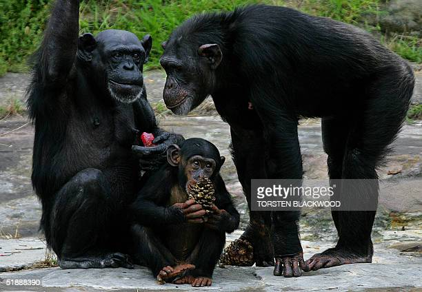A chimpanzee family enjoys Christmas treats of flavoured pine cones and frozen fruit at Taronga Zoo in Sydney 23 December 2004 The Christmas gifts...