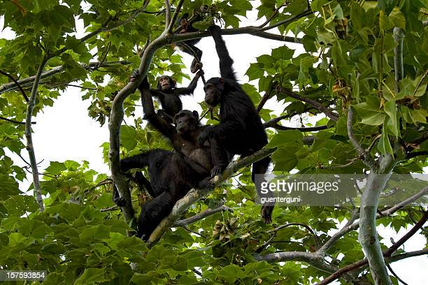 chimpanzee family is sitting in a tree, wildlife shot, gombe/tanzania - chimpanzee stock pictures, royalty-free photos & images