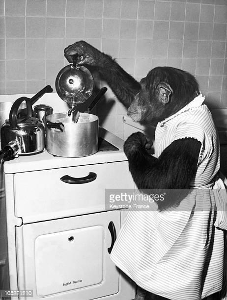Chimpanzee Gourmet In England 1960