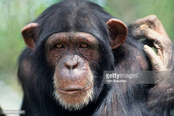 Chimpanzee (Pan troglodytes), headshot, Tanzania, Africa