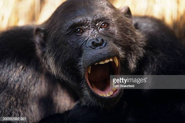 Chimpanzee (Pan troglodytes) howling, headshot, (Close-up)