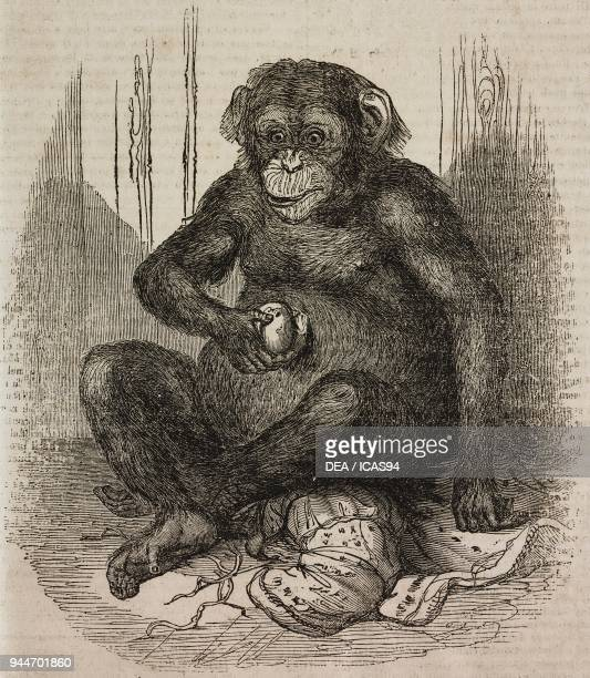 Chimpanzee illustration from Teatro universale Raccolta enciclopedica e scenografica No 101 June 4 1836