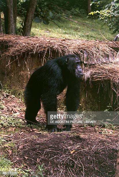 Chimpanzee in a forest