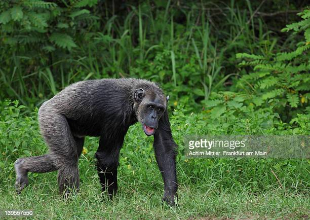 Chimpanzee in green grass