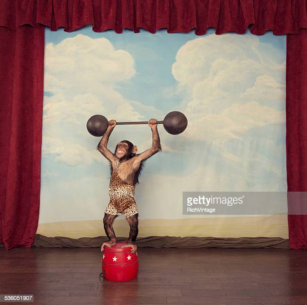 chimpanzee in leopard singlet lifts heavy barbell on stage - circus stock pictures, royalty-free photos & images