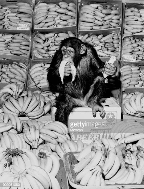 A Chimpanzee in paradise at Twycross Zoo 20th February 1976