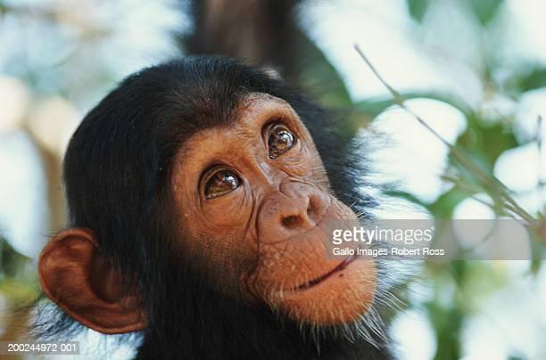 Chimpanzee (Pan troglodytes) in tree, close-up