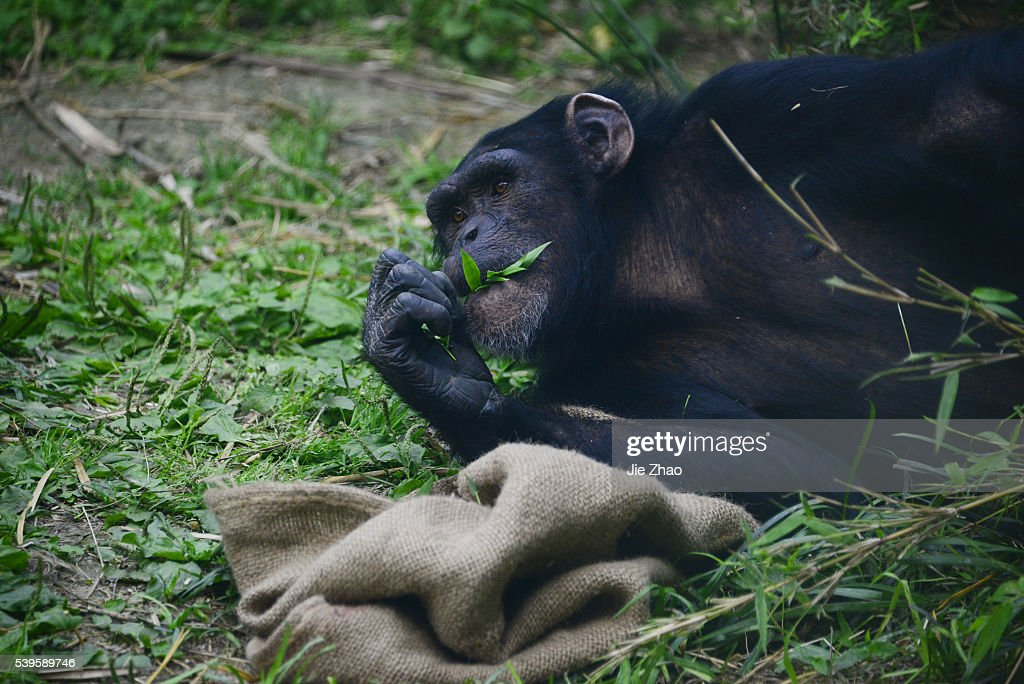 The chimpanzee playing at the Zoo : News Photo