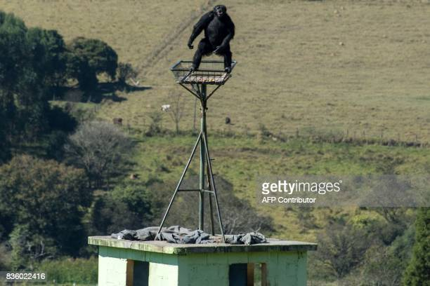A chimpanzee is seen at the Great Apes Project a sanctuary for apes in Sorocaba some 100km west of Sao Paulo Brazil on July 28 2017 / AFP PHOTO /...