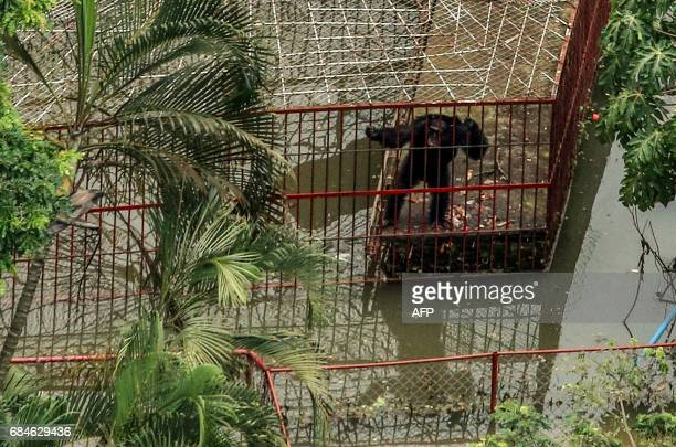 A chimpanzee is seen in its cage at the flooded Villa Helena zoo in Cali Colombia on May 18 after heavy rains caused the Cauca River to overflow...