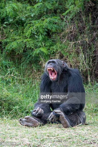 Chimpanzee is yawning at the Sweetwaters Chimpanzee Sanctuary at Ol Pejeta Conservancy in Kenya