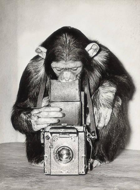 Chimpanzee looking through vintage box camera (B&W)