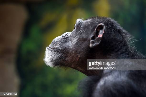 A chimpanzee looks on inside its enclosure on August 1 2018 at The Beauval Zoo in SaintAignansurCher central France
