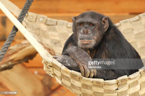 A chimpanzee looks out from an enclosure after the official opening ceremony of Sydney Zoo on December 06 2019 in Sydney Australia Sydney Zoo located...