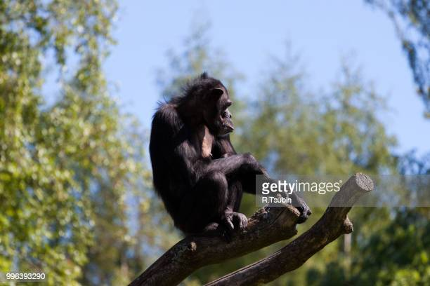 chimpanzee monkey on a trees over blue sky - chimpanzee teeth stock pictures, royalty-free photos & images