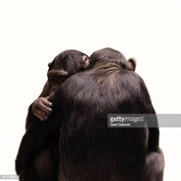 Chimpanzee monkeys cuddling