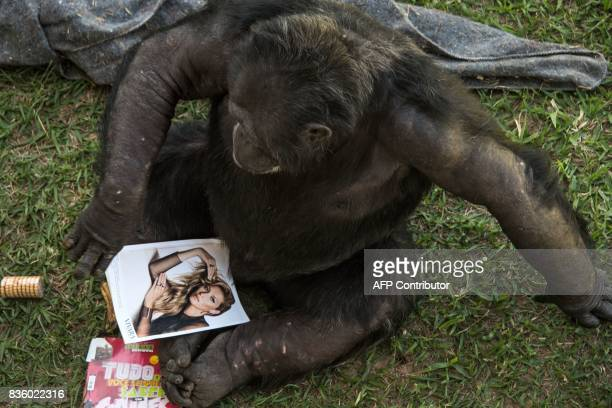 A chimpanzee named Guga is seen at the Great Apes Project a sanctuary for apes in Sorocaba some 100km west of Sao Paulo Brazil on July 28 2017 / AFP...