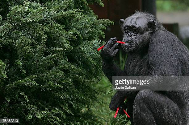 A chimpanzee named Minnie eats licorice off of a Christmas tree at the San Francisco Zoo December 22 2005 in San Francisco California Zoo animals...