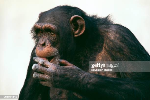 Chimpanzee, older animal, in zoo, UK.