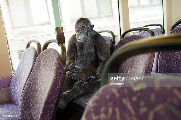 Chimpanzee on a bus with a tablet