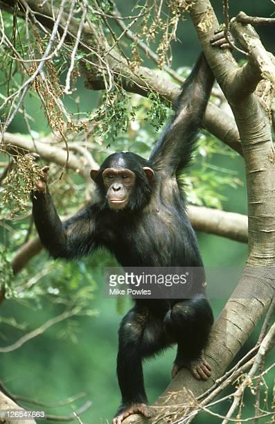 chimpanzee, pan troglodytes, excited and calling, ngamba is, uganda