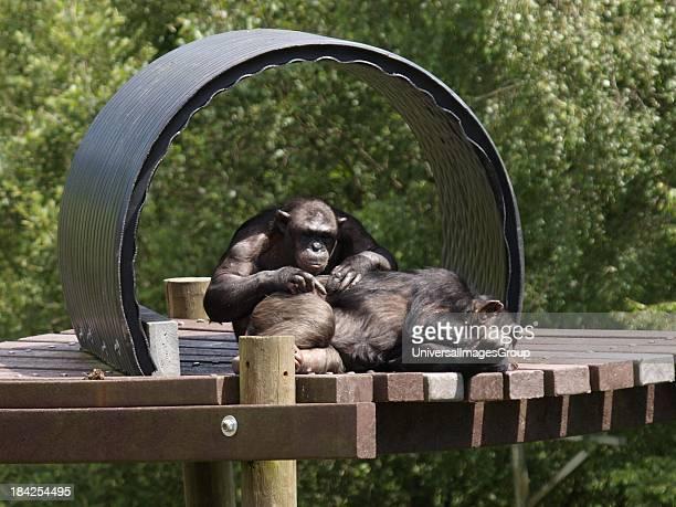 Chimpanzee Pan troglodytes grooming another UK