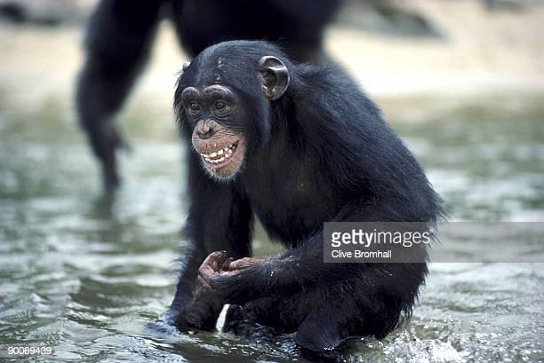 chimpanzee pan troglodytes juvenile grinning standing in water. liberia