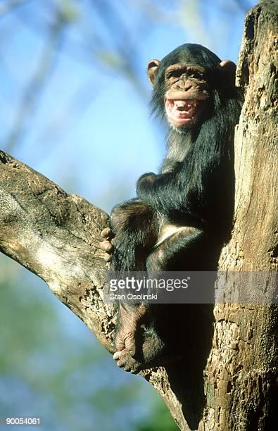 chimpanzee: pan troglodytes  showing teeth. endangered speci es.  zoo animal - chimpanzee teeth stock pictures, royalty-free photos & images