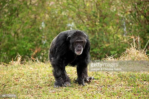Chimpanzee -Pan troglodytes troglodytes-, male, captive, Miami, Florida, USA