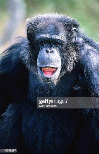 chimpanzee (pan satyrus). - chimpanzee teeth stock pictures, royalty-free photos & images