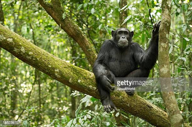 chimpanzee - uganda stock pictures, royalty-free photos & images