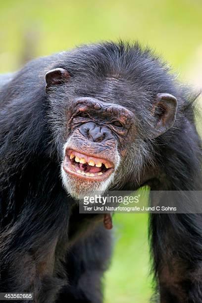 chimpanzee - chimpanzee teeth stock pictures, royalty-free photos & images