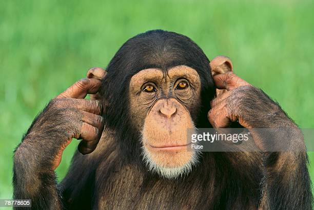 chimpanzee - fingers in ears stock pictures, royalty-free photos & images