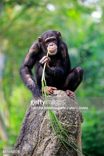 Chimpanzee, (Pan troglodytes troglodytes)
