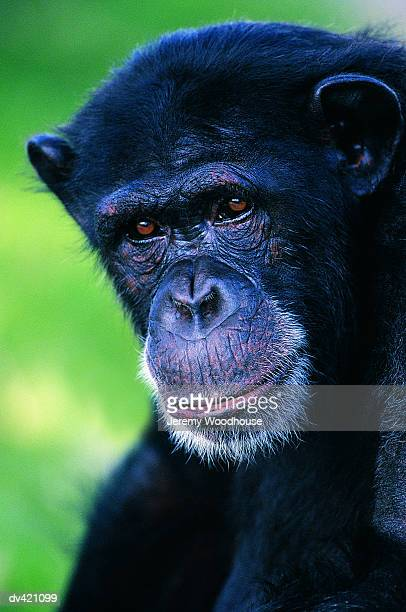 chimpanzee (pan troglodytes) - jeremy woodhouse stock photos and pictures